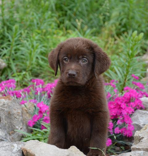 puppy2 - Available Lab Puppies for sale in Kansas City Missouri