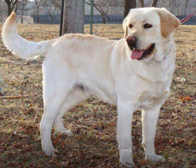 rocky4 - Male labradors in Missouri - One of the best lab breeders in Missouri