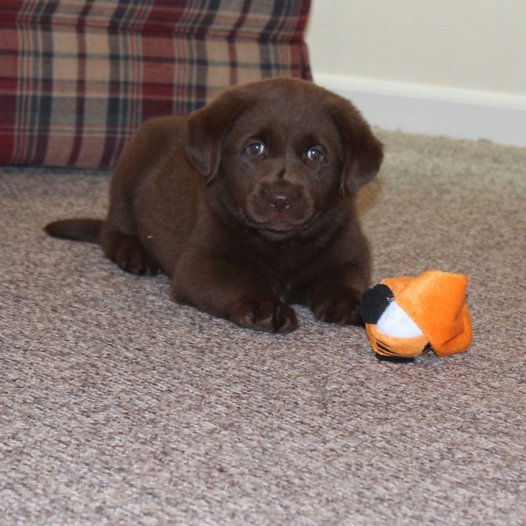 puppy2 1024x1024 - Available Lab Puppies for sale in Kansas City Missouri