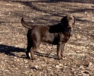 Chocolate English Labrador 300x244 - Male labradors in Missouri - One of the best lab breeders in Missouri