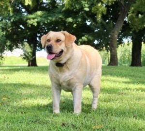 yellow english lab 300x270 - Available Lab Puppies for sale in Kansas City Missouri