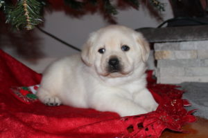 yellow puppy 1 300x200 - Available Lab Puppies for sale in Kansas City Missouri